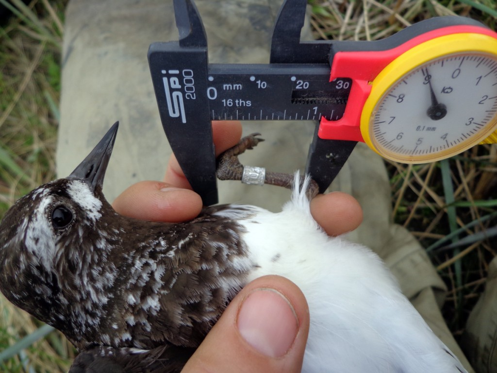 Measuring the tarsus of a black turnstone.
