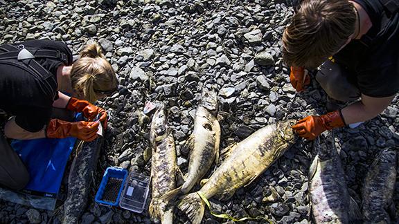 Heather Wiedenhoft and Sophia Myers collecting chum otoliths at Hartney Creek, July 24, 2014.