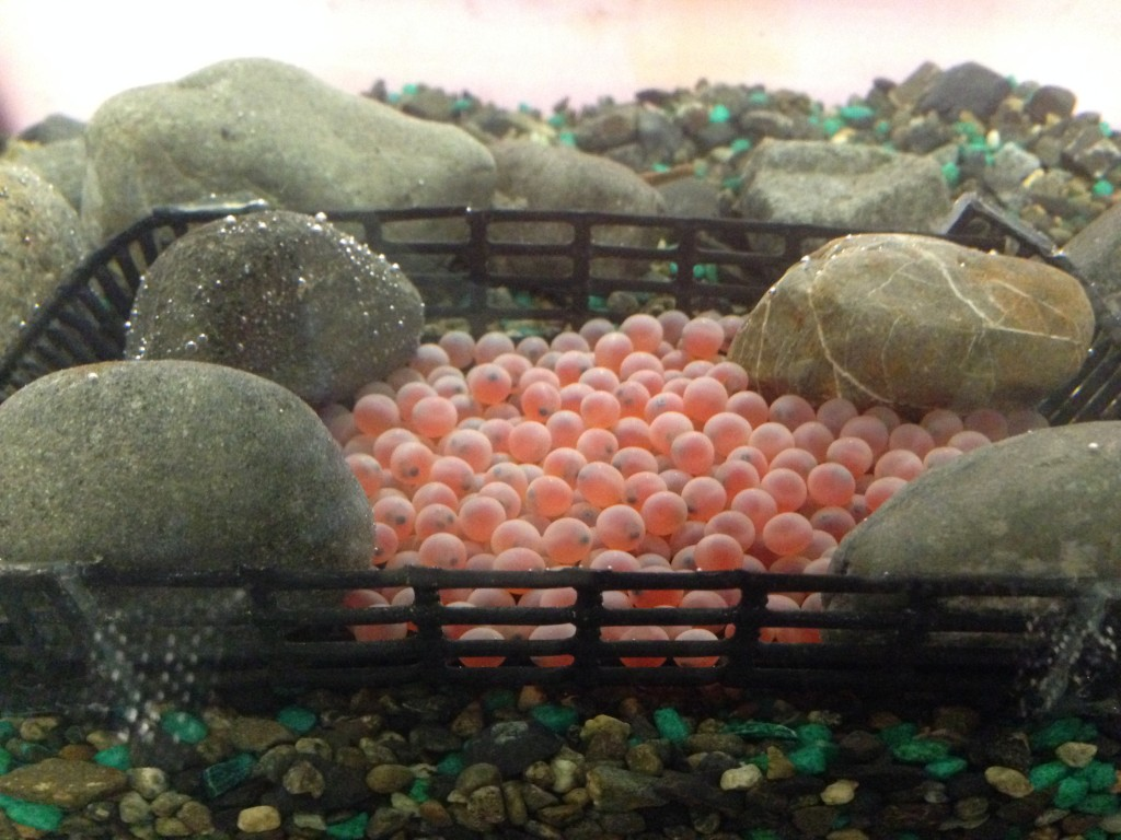 Coho salmon eggs
