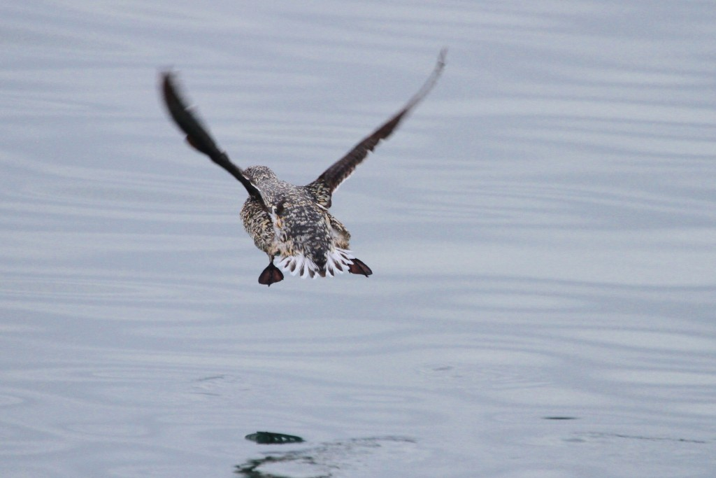 Kittlitz's murrelet reveals its white tail feathers