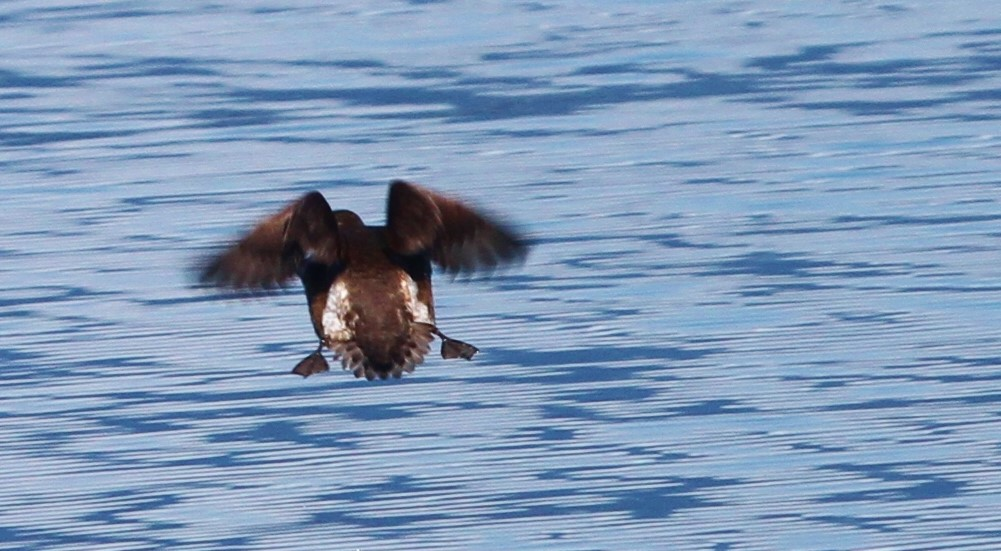 Marbled murrelet reveals its brown tail feathers