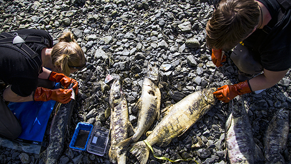 Heather Wiedenhoft and Sophia Myers collecting chum otoliths at Hartney Creek, July 24, 2014.