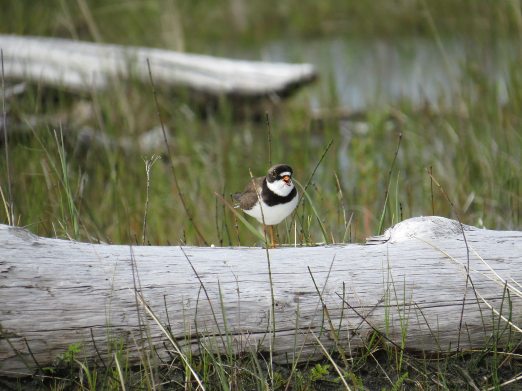 A Semipalmated Plover soaks up some sun on Egg Island in early June 2015.