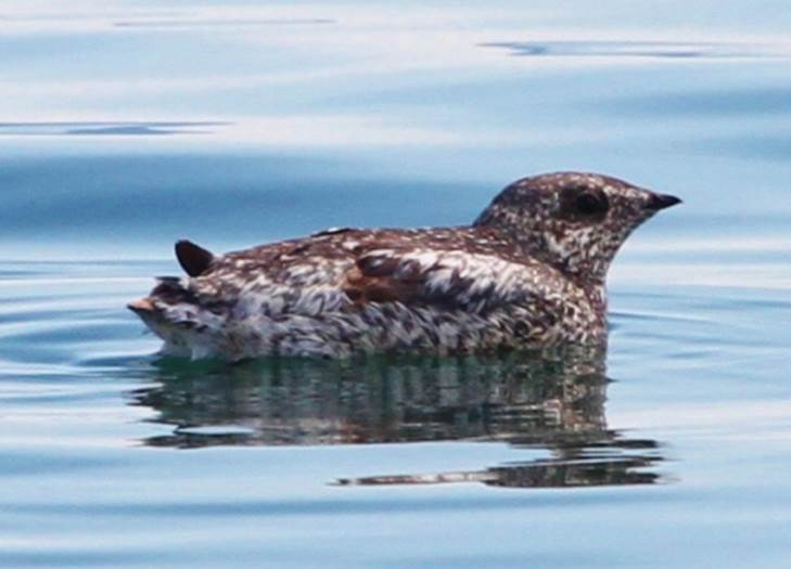 Football-sized Kittlitz's murrelet in Glacier Bay National Park and Preserve