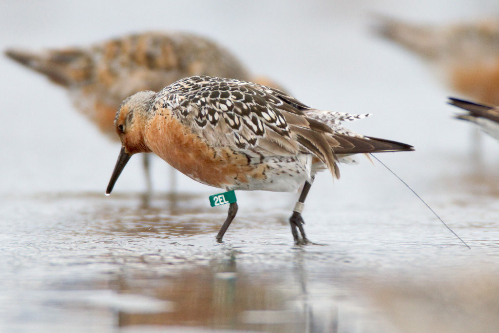 Copper River Delta: A Critical Stopover for Red Knots in Spring
